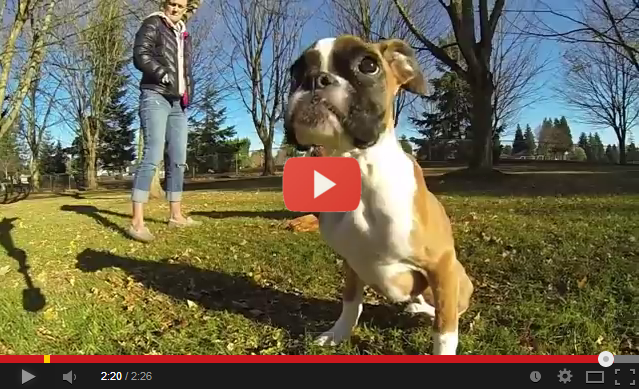 Your Excuse Is Invalid – 2 Legged Boxer Puppy Running